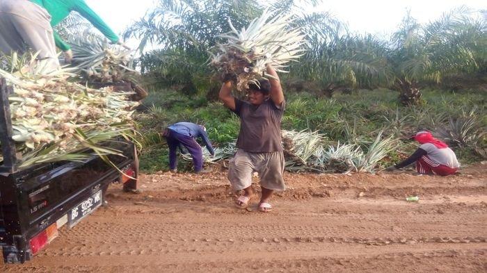 Budidaya Nanas di Desa Sepucuk OKI Cegah Karhutla dan Tingkatkan Ekonomi Warga