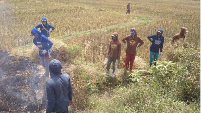 Stok Gabah Aman, Agustus Ini Petani OKU Timur Bersiap Panen Sawah Seluas 30 Ribu Hektare
