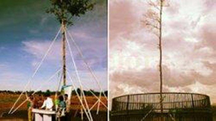 Pohon Langka Milik Presiden Joko Widodo Tersambar Petir, Sekarang Mengering dan Meranggas