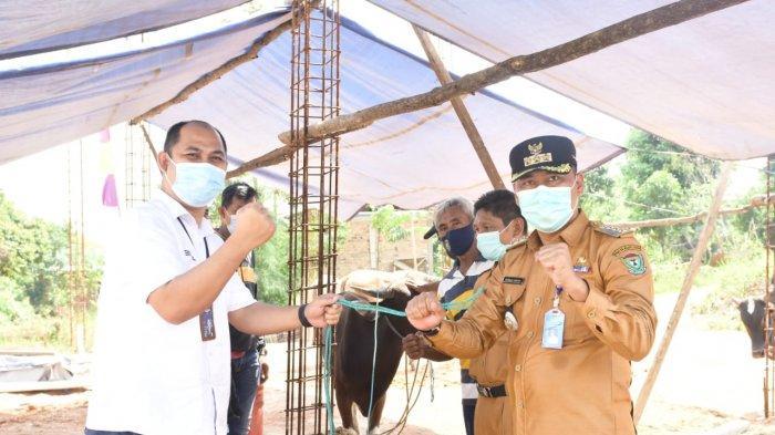 PT Bukit Asam Tbk Salurkan 95 Sapi Kurban di Ring I Wilayah Perusahaan