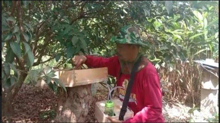 Cerita Sulardi Budidaya Lebah Kelolot, Madunya Dipercaya Tingkatkan Imun Tubuh dan Vitalitas