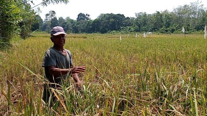 Tahun Ini Petani Desa Remban Muratara Dua Kali Gagal Panen, Masalah Air dan Serangan Hama