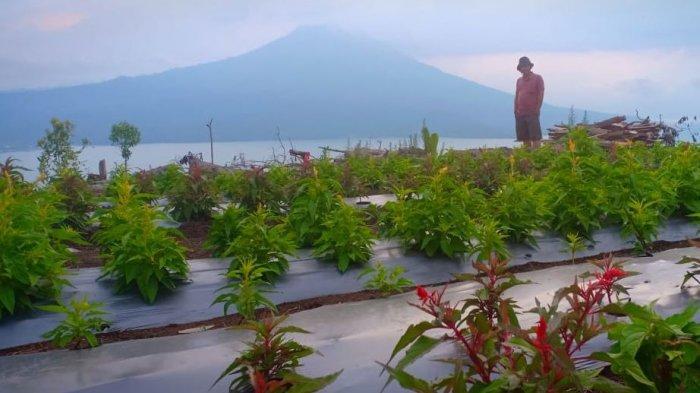 Mau Liburan Akhir Tahun di Danau Ranau? Sekarang Ada Wisata Baru Taman Bunga