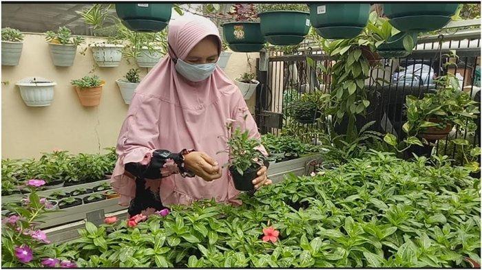 Tips Merawat Bunga Tapak Dara Atau Vinca Jepang Series Tetap Cantik Dengan Harga Terjangkau Tribun Sumsel