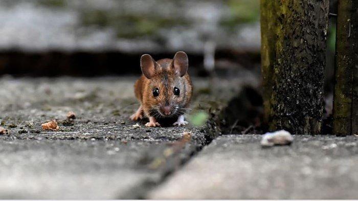Tikus Bandel di Dalam Rumah? Ini 6 Tips Khusus Mengusir Tikus dari Rumah
