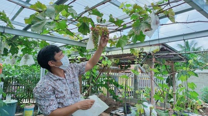 Cara Menanam, Merawat Tanaman Anggur Hingga Panen, Tips dari Petani Anggur di PALI
