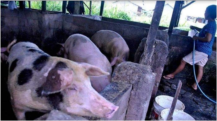 Vaksin AstraZeneca Haram karena Ada Kandungan Babi, Ini Saran MUI