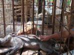babi-berkaki-aneh-di-desa-pekuncen-kecamatan-jatilawang-kabupaten-banyumas.jpg
