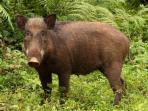 babi-hutan_20151212_113227.jpg