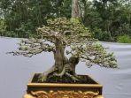 bonsai-prabumulih-5.jpg