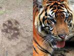 breaking-news-teror-harimau-di-pagaralam-mulai-masuk-permukiman-sudah-mangsa-kambing-warga.jpg