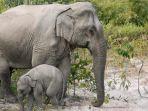 cara-berhitung-gajah-asia-bikin-peneliti-terperangah_20181024_201308.jpg