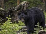 ilustrasi-beruang-hitam.jpg