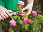 menanam-bunga-mawar.jpg