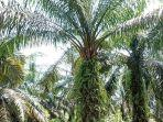musim-trek-sawit-di-muratara-sehingga-produksi-tbs-kelapa-sawit-anjlok.jpg