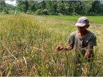 petani-di-desa-remban-kecamatan-rawas-ulu-muratara.jpg