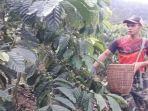 petani-di-kecamatan-sindang-danau-tengah-memetik-buah-kopi.jpg