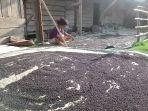 petani-lada-hitam-di-oku-selatan-sumsel.jpg