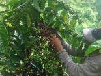 petani-sedang-memanen-kopi-di-wilayah-kecamatan-sungai-are-kabupaten-oku-selatan.jpg
