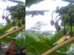 pisang-langkah_20170824_132850.jpg