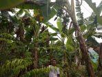 poniman-saat-menunjukkan-pisang-di-kebun-milik-sugeng-senin-152_20180205_183453.jpg