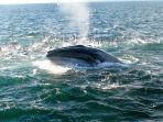 seekor-paus-brydes-saat-sedang-mengambil-napas-di-permukaan-laut.jpg