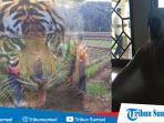 teror-harimau.jpg