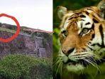 video-penampakan-harimau-gunung-dempo.jpg