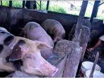 warga-di-oki-menemukan-3-babi-mati-mendadak-warga-khawatir-inveksi-virus-hog-cholera.jpg