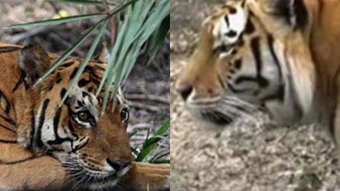 Heboh 2 Kasus Harimau Terkam Manusia, Kejadian Terbaru Menimpa Wisatawan asal Sekayu