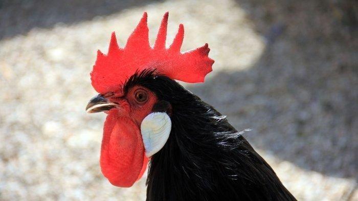 3 Arti Mimpi Ayam Menurut Primbon Jawa, Banyak Berikan Tanda Keberuntungan
