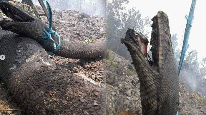 Jenis Ular Piton yang Terbakar & Viral Lebih Bisa Panjang dari Anaconda, Lihat Caranya Cari Mangsa