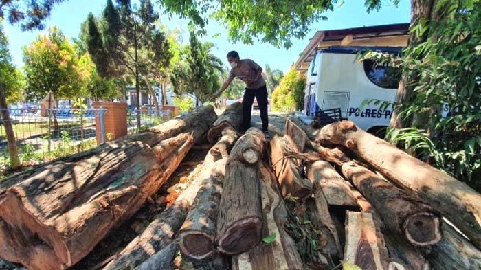 Pemkab Pasuruan Pastikan Pemotongan Sonokeling Tak Berizin, Polisi Janji Buru Pelaku
