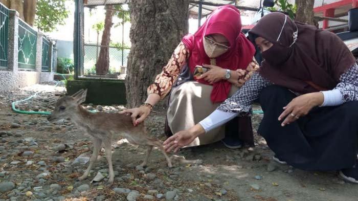 Bayi Kijang Jawa yang Ditelantarkan Induknya di Pendopo Kabupaten Tulungagung Jadi Pusat Perhatian