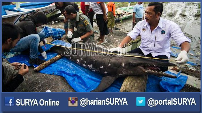 GALERI FOTO - Prosesi Penguburan Lumba-lumba di Pantai Kenjeran, Surabaya