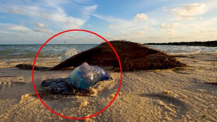 FOTO - Ini Alasan, Kenapa Harus Segera Lari Menghindar Bila Bertemu Makhluk Ini di Pantai