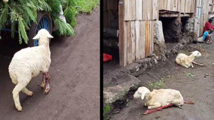 Heboh Video Belasan Kambing Luka Misterius di Bondowoso, Kades Bantah Kabar akibat Ulah Gerandong