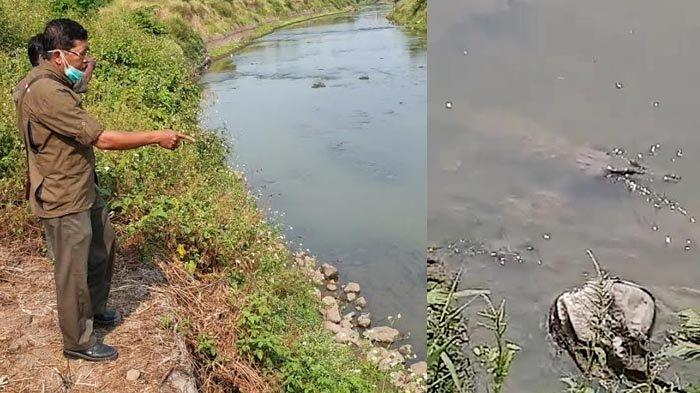 Penyebab Munculnya Buaya Misterius di Kali Sadar Mojokerto dan Langkah BBKSDA Jatim
