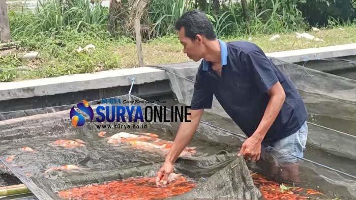 Permintaan Ikan Koi di Plosoklaten Kediri Meningkat Tajam Meski Corona, Sebulan Capai Rp 25 Juta