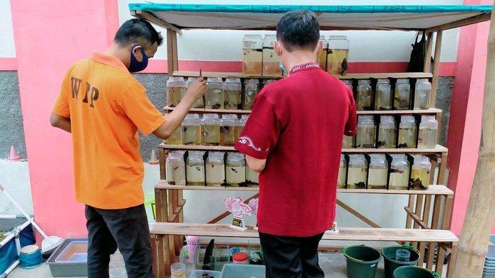 Budidaya Ikan Cupang Jadi Terapi Narkoba; Napi di Pamekasan Bisa Raup Ratusan Ribu