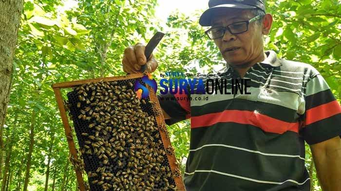 Ternak Lebah dari Memanfaatkan Lahan Kosong, Warga di Tuban Ini Hasilkan Ratusan Liter Madu Seminggu