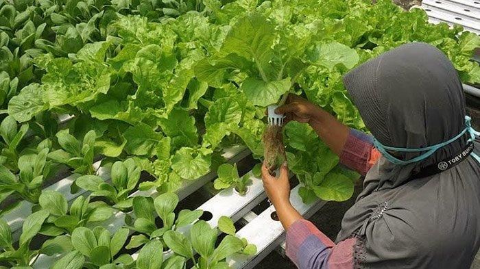 Gunakan Konsep Urban Farming, Kota Kediri Kembangkan Budidaya Sayuran Hidroponik dalam Green House