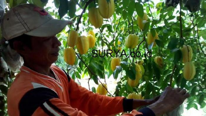 Selama 29 Tahun, Yasin Budidaya Belimbing Tasikmadu di Tuban
