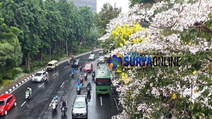 5 Fakta Bunga Tabebuya yang Sedang Mekar di Surabaya, Berasal dari Brasil & Mekar Dua Kali Setahun