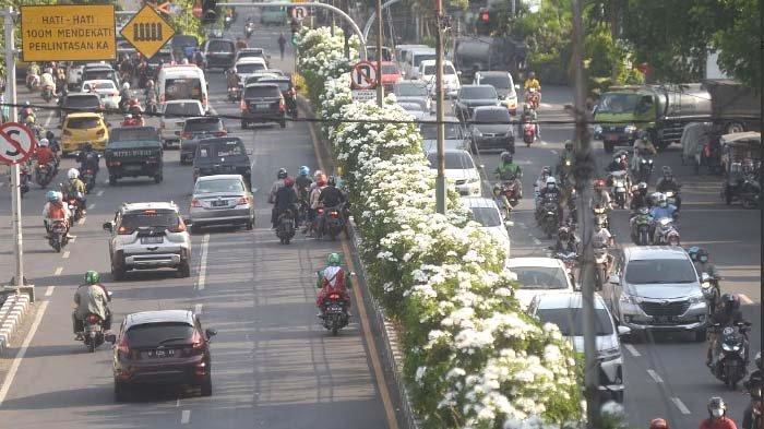 Nuansa Jepang Hadir di Kota Pahlawan, Indahnya Bunga Tabebuya Bermekaran di Surabaya