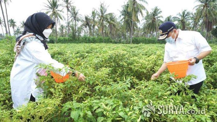 Petani Banyuwangi Gembira Ada Program Bagi-Bagi Pupuk Organik Gratis