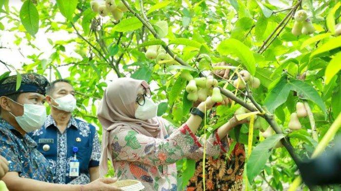 Menengok Kampung dengan Berbagai Varietas Jambu di Kabupaten Banyuwangi