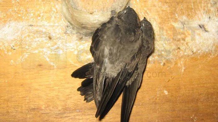 Begini Tips Awal Budidaya Burung Walet yang Benar dari Seorang Ahli dan Senior Konsultan