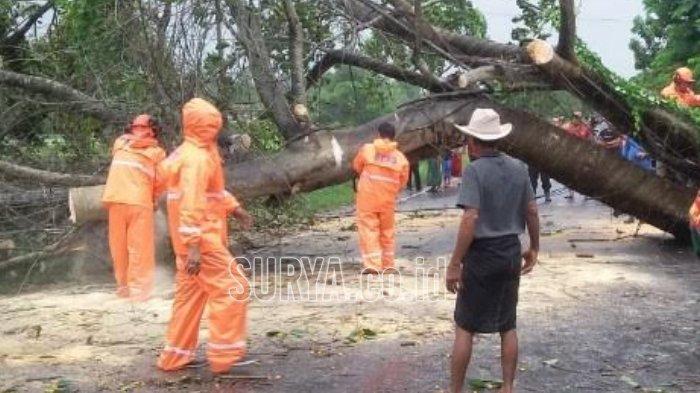 Pohon Karet Tumbang di Jalur Pantura Kabupaten Bangkalan, Macet Selama Dua Jam