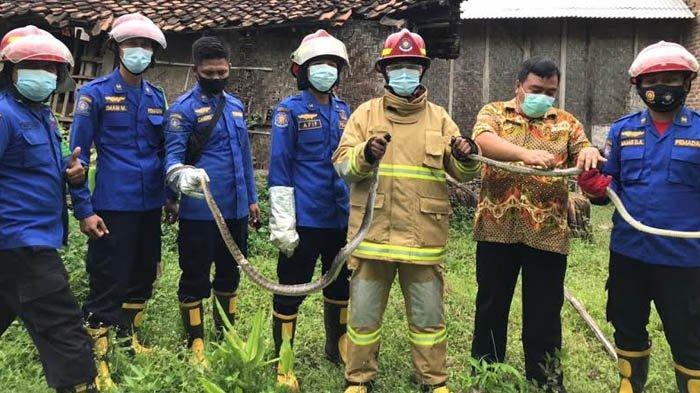 Damkar Trenggalek Evakuasi Dua Ekor Ular Kobra di Puskesmas Pogalan Trenggalek